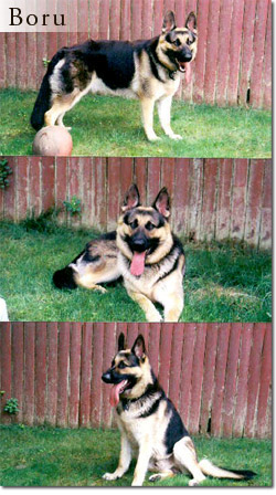 Boru - Trained German Shepherd