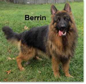 Berrin - German Shepherd