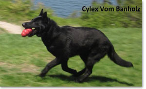 Cylex - German Shepherd