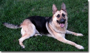 Gretel - German Shepherd
